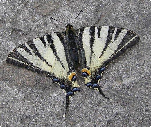 Подалирий (лат. Iphiclides podalirius) — бабочка семейства парусников. Вид назван в честь Подалирия, в древнегреческой мифологии — знаменитого врача, сына Асклепия и Эпионы. фото 1
