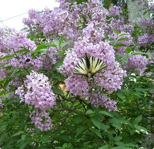 Подалирий (лат. Iphiclides podalirius) — бабочка семейства парусников. Вид назван в честь Подалирия, в древнегреческой мифологии — знаменитого врача, сына Асклепия и Эпионы. фото 3