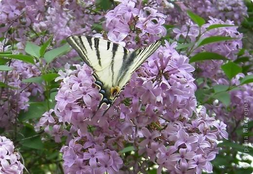 Подалирий (лат. Iphiclides podalirius) — бабочка семейства парусников. Вид назван в честь Подалирия, в древнегреческой мифологии — знаменитого врача, сына Асклепия и Эпионы. фото 2