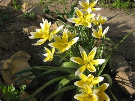 Очень люблю тюльпаны! Особенная моя любовь - махровые ранние.Тюльпан сорта Монселла. цветы - просто огромные! До 14 см диаметром. Вот так всегда широко раскрыты к солнышку. У них еще и сильный приятный запах. фото 13