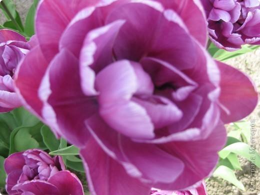Очень люблю тюльпаны! Особенная моя любовь - махровые ранние.Тюльпан сорта Монселла. цветы - просто огромные! До 14 см диаметром. Вот так всегда широко раскрыты к солнышку. У них еще и сильный приятный запах. фото 4