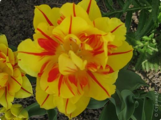 Очень люблю тюльпаны! Особенная моя любовь - махровые ранние.Тюльпан сорта Монселла. цветы - просто огромные! До 14 см диаметром. Вот так всегда широко раскрыты к солнышку. У них еще и сильный приятный запах. фото 1