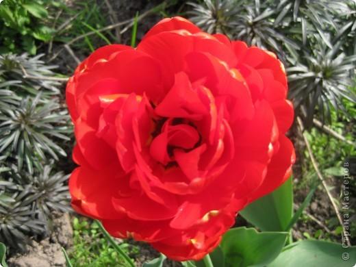 Очень люблю тюльпаны! Особенная моя любовь - махровые ранние.Тюльпан сорта Монселла. цветы - просто огромные! До 14 см диаметром. Вот так всегда широко раскрыты к солнышку. У них еще и сильный приятный запах. фото 7
