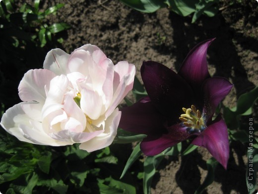 Очень люблю тюльпаны! Особенная моя любовь - махровые ранние.Тюльпан сорта Монселла. цветы - просто огромные! До 14 см диаметром. Вот так всегда широко раскрыты к солнышку. У них еще и сильный приятный запах. фото 8