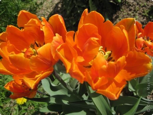 Очень люблю тюльпаны! Особенная моя любовь - махровые ранние.Тюльпан сорта Монселла. цветы - просто огромные! До 14 см диаметром. Вот так всегда широко раскрыты к солнышку. У них еще и сильный приятный запах. фото 3