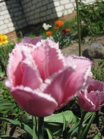Очень люблю тюльпаны! Особенная моя любовь - махровые ранние.Тюльпан сорта Монселла. цветы - просто огромные! До 14 см диаметром. Вот так всегда широко раскрыты к солнышку. У них еще и сильный приятный запах. фото 9