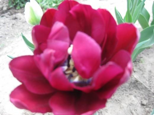 Очень люблю тюльпаны! Особенная моя любовь - махровые ранние.Тюльпан сорта Монселла. цветы - просто огромные! До 14 см диаметром. Вот так всегда широко раскрыты к солнышку. У них еще и сильный приятный запах. фото 12