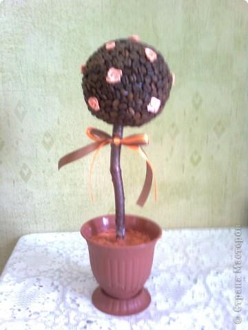 Это мое первое кофейное дерево! На этой фотографии еще не нанесен последний штрих - керамзит в горшочек, залитый клеем солид фото 1