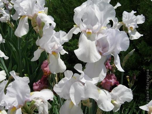 Добрый день все любители цветов!! Хочу показать Вам красоту прекрасных, мною очень любимых, ирисов! фото 4