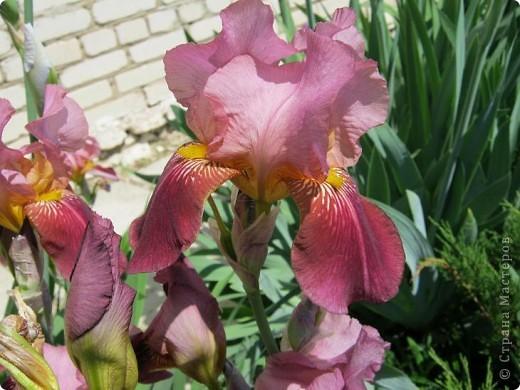 Добрый день все любители цветов!! Хочу показать Вам красоту прекрасных, мною очень любимых, ирисов! фото 8