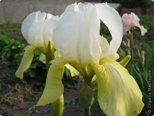 Добрый день все любители цветов!! Хочу показать Вам красоту прекрасных, мною очень любимых, ирисов! фото 10