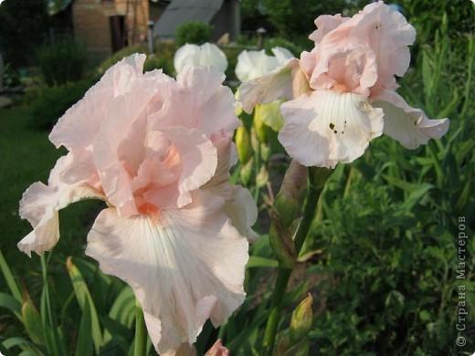 Добрый день все любители цветов!! Хочу показать Вам красоту прекрасных, мною очень любимых, ирисов! фото 13