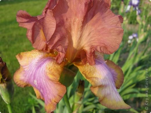 Добрый день все любители цветов!! Хочу показать Вам красоту прекрасных, мною очень любимых, ирисов! фото 18