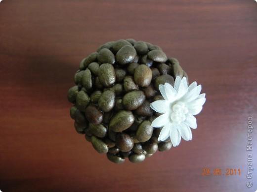 Наконец-то и я вырастила кофейное дерево. фото 3