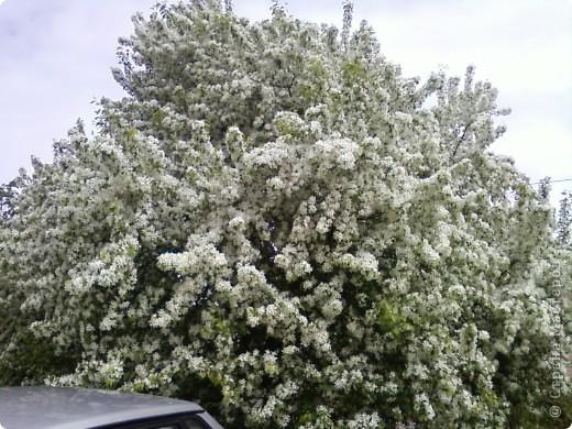 Не могла пройти мимо такой красоты. Как невеста, вся в белый цвет яблонька нарядилась, даже листочков не видно. фото 1
