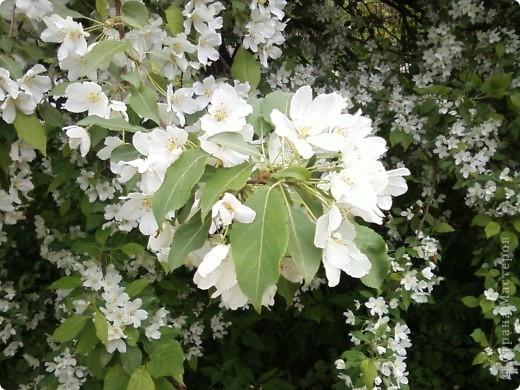 Не могла пройти мимо такой красоты. Как невеста, вся в белый цвет яблонька нарядилась, даже листочков не видно. фото 3