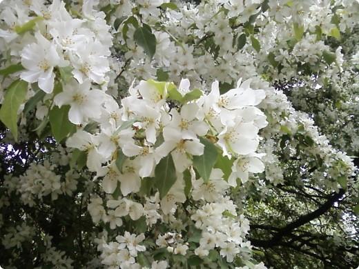Не могла пройти мимо такой красоты. Как невеста, вся в белый цвет яблонька нарядилась, даже листочков не видно. фото 4