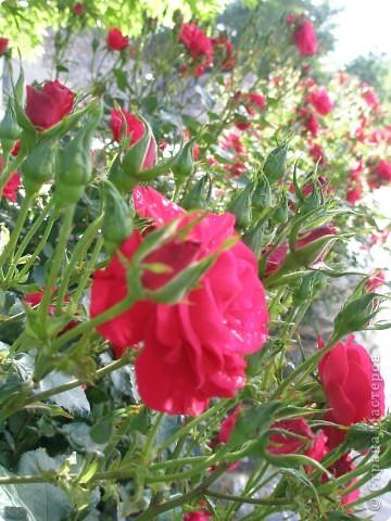 Роза и ее воздыхатель фото 3