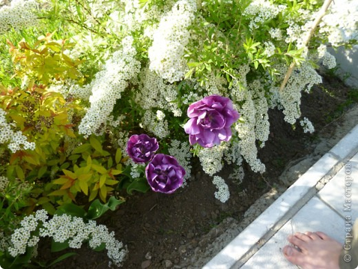 Первые тюльпаны в саду,а это ступня ноги моего сташего внука. фото 1