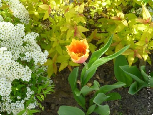 Первые тюльпаны в саду,а это ступня ноги моего сташего внука. фото 2