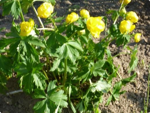 Первые тюльпаны в саду,а это ступня ноги моего сташего внука. фото 4