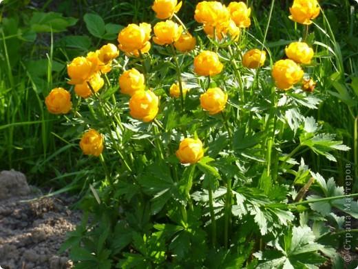 Первые тюльпаны в саду,а это ступня ноги моего сташего внука. фото 14