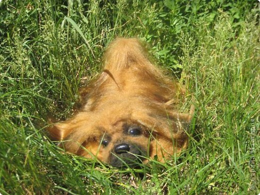 "Наш последний на сегодня ""шедевр""- собачка пекинесик фото 4"
