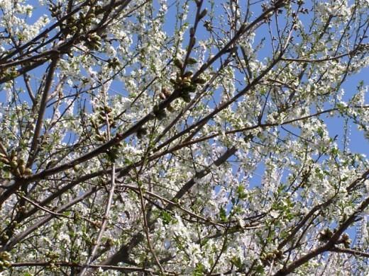 Вот так цвели деревья в апреле... фото 1