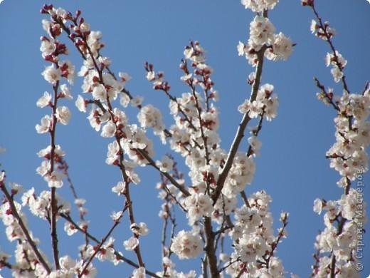 Вот так цвели деревья в апреле... фото 4