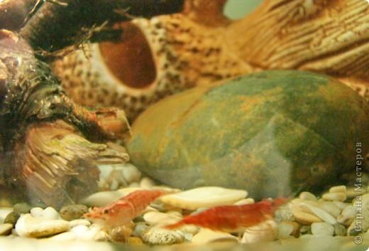 Это наша Ракеша - аквариумный рак. Ракеша  живет в аквариуме вместе с другими его обитателями: рыбками и улитками. Питается  она специальным кормом для раков и донных рыб, живым мотылем.  фото 5