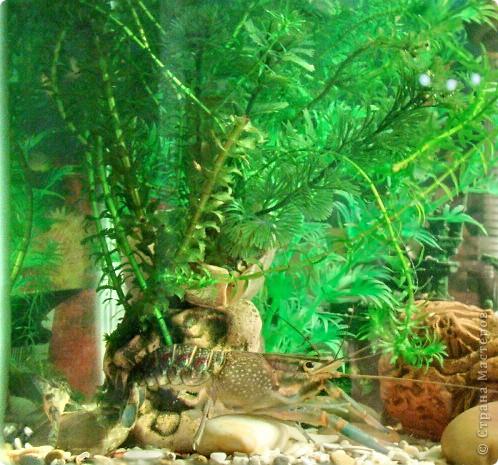 Это наша Ракеша - аквариумный рак. Ракеша  живет в аквариуме вместе с другими его обитателями: рыбками и улитками. Питается  она специальным кормом для раков и донных рыб, живым мотылем.  фото 1