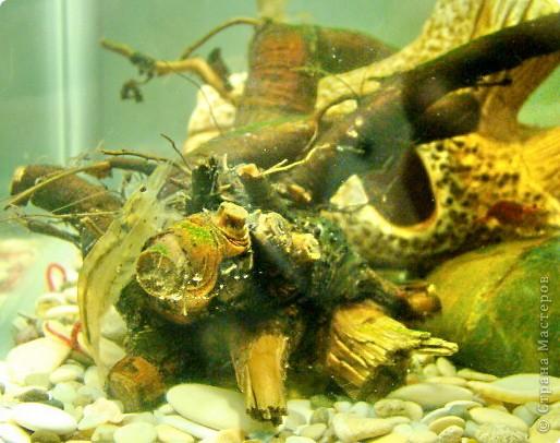 Это наша Ракеша - аквариумный рак. Ракеша  живет в аквариуме вместе с другими его обитателями: рыбками и улитками. Питается  она специальным кормом для раков и донных рыб, живым мотылем.  фото 4