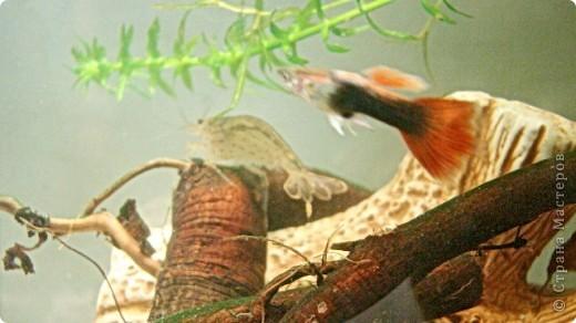 Это наша Ракеша - аквариумный рак. Ракеша  живет в аквариуме вместе с другими его обитателями: рыбками и улитками. Питается  она специальным кормом для раков и донных рыб, живым мотылем.  фото 3