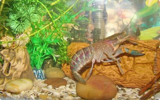 Это наша Ракеша - аквариумный рак. Ракеша  живет в аквариуме вместе с другими его обитателями: рыбками и улитками. Питается  она специальным кормом для раков и донных рыб, живым мотылем.  фото 2