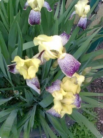 Вот такие красивые цветочки росли в моем саду.. фото 1