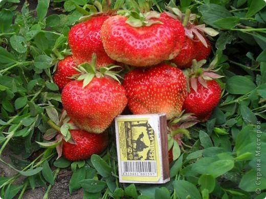 Клубника ОЧЕНЬ КРУПНАЯ! Несколько лет назад проводила эксперимент, несколько ягод не срывала довольно долго, было интересно до каких же размеров она может вырасти. Выросла крупнее среднего яблока. Я сорвала ягоды, когда они уже начали трескаться на части, а то наверное росли бы и дальше. На вкус ягоды очень сладкие и сочные. Выращиваю этот сорт уже лет 10, когда созревают ягоды вся семья в восторге, особенно дети!  ДЕВОЧКИ, ЕСЛИ КТО=ТО В КУРСЕ, НАПИШИТЕ, КАК МОЖНО ПЕРЕСЫЛАТЬ КУСТИКИ КЛУБНИКИ? ВЫСЛАЛА БЫ ВСЕМ ЖЕЛАЮЩИМ БЕСПЛАТНО!!! фото 3