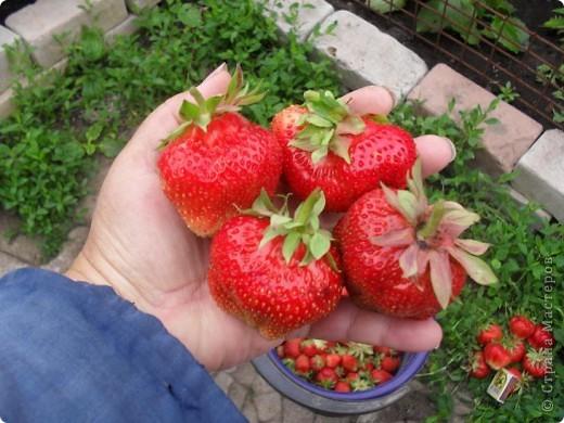 Клубника ОЧЕНЬ КРУПНАЯ! Несколько лет назад проводила эксперимент, несколько ягод не срывала довольно долго, было интересно до каких же размеров она может вырасти. Выросла крупнее среднего яблока. Я сорвала ягоды, когда они уже начали трескаться на части, а то наверное росли бы и дальше. На вкус ягоды очень сладкие и сочные. Выращиваю этот сорт уже лет 10, когда созревают ягоды вся семья в восторге, особенно дети!  ДЕВОЧКИ, ЕСЛИ КТО=ТО В КУРСЕ, НАПИШИТЕ, КАК МОЖНО ПЕРЕСЫЛАТЬ КУСТИКИ КЛУБНИКИ? ВЫСЛАЛА БЫ ВСЕМ ЖЕЛАЮЩИМ БЕСПЛАТНО!!! фото 4