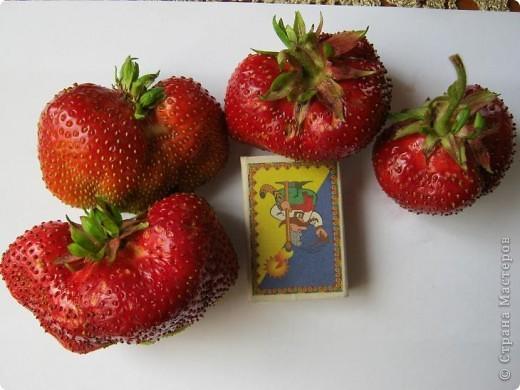 Добрый день всем любителям клубнички!!Сегодня я хочу рассказать о удивительном сорте этой чудесной ягоды - Чамора Туруси. Сорт Японской селекции, лет 10 он прекрасно растет и плодоносит у нас, спутать его с другими сортами просто невозможно из за формы ягоди земляничного вкуса. фото 2