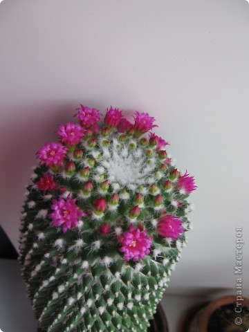 Этот красавец каждый год цветёт всё лето))) фото 6