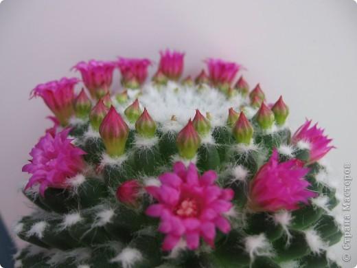 Этот красавец каждый год цветёт всё лето))) фото 3