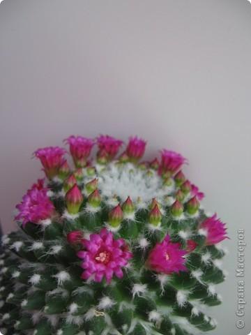 Этот красавец каждый год цветёт всё лето))) фото 2
