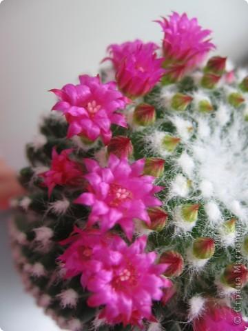 Этот красавец каждый год цветёт всё лето))) фото 1
