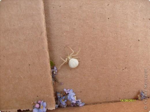 ПРЕКРАСНЫЕ НЕЗНАКОМЦЫ. .........всю жизнь считала  что пауки бывают   в основном черные  , ну серые , ну коричневые ........... красиво , когда с узорами ..................но что пауки бывают зеленые , красные ,  оранжевые  и белые вижу в первый раз в жизни............ фото 1