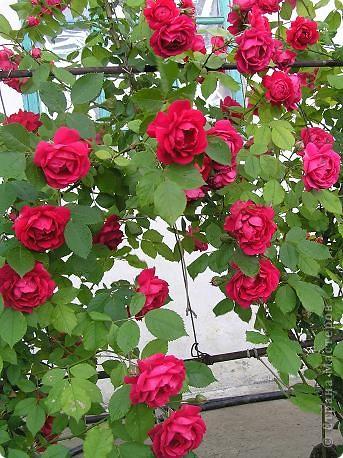 Вот такая красота радует, сейчас, нас!Много  лет мечтали  разводить розы, но все по какой-либо причине не могли.И  вот теперь мы можем наслаждаться  этим  зрелищем и ароматом.По истине роза КОРОЛЕВА цветов! фото 17