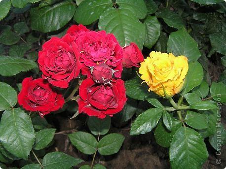 Вот такая красота радует, сейчас, нас!Много  лет мечтали  разводить розы, но все по какой-либо причине не могли.И  вот теперь мы можем наслаждаться  этим  зрелищем и ароматом.По истине роза КОРОЛЕВА цветов! фото 13