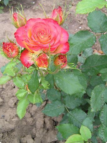 Вот такая красота радует, сейчас, нас!Много  лет мечтали  разводить розы, но все по какой-либо причине не могли.И  вот теперь мы можем наслаждаться  этим  зрелищем и ароматом.По истине роза КОРОЛЕВА цветов! фото 12