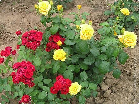Вот такая красота радует, сейчас, нас!Много  лет мечтали  разводить розы, но все по какой-либо причине не могли.И  вот теперь мы можем наслаждаться  этим  зрелищем и ароматом.По истине роза КОРОЛЕВА цветов! фото 14