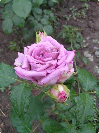 Вот такая красота радует, сейчас, нас!Много  лет мечтали  разводить розы, но все по какой-либо причине не могли.И  вот теперь мы можем наслаждаться  этим  зрелищем и ароматом.По истине роза КОРОЛЕВА цветов! фото 1