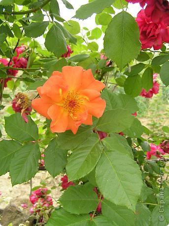 Вот такая красота радует, сейчас, нас!Много  лет мечтали  разводить розы, но все по какой-либо причине не могли.И  вот теперь мы можем наслаждаться  этим  зрелищем и ароматом.По истине роза КОРОЛЕВА цветов! фото 19