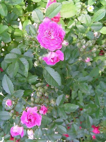 Вот такая красота радует, сейчас, нас!Много  лет мечтали  разводить розы, но все по какой-либо причине не могли.И  вот теперь мы можем наслаждаться  этим  зрелищем и ароматом.По истине роза КОРОЛЕВА цветов! фото 18